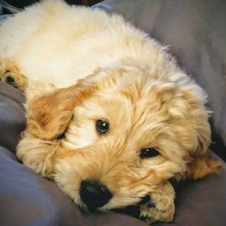 Calgary Therapy Puppy Ryder