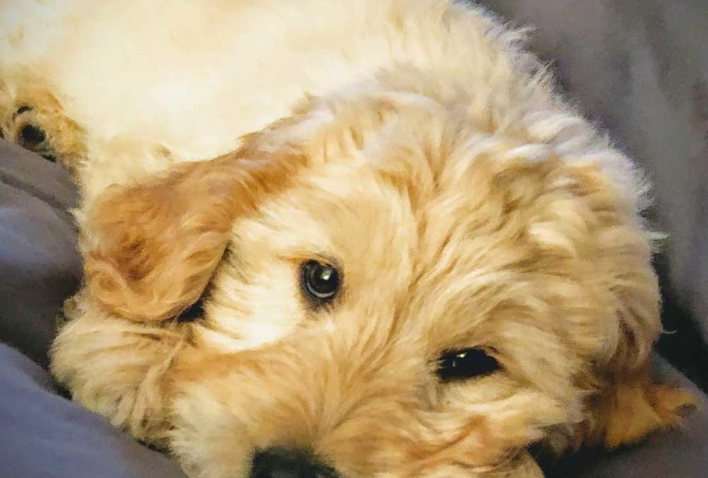 Meet Ryder – Our Newest Member & Therapy Dog
